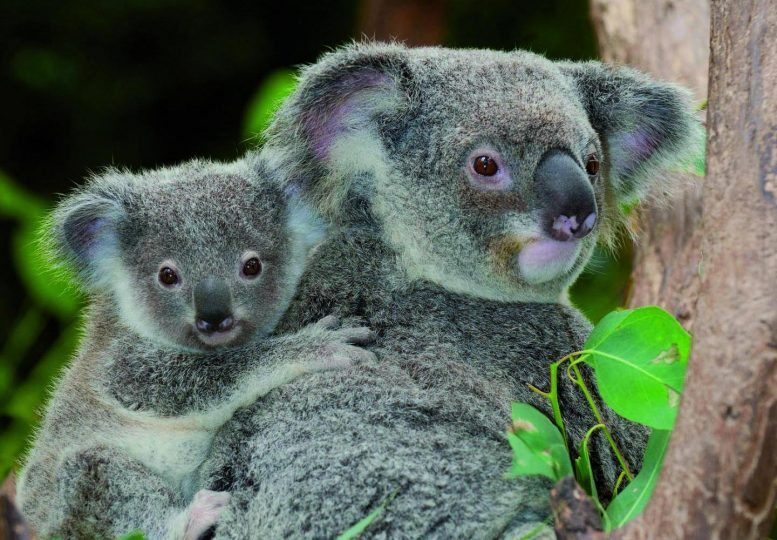 Two Koalas in a Tree