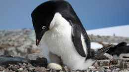 Unique Insights on Adélie Penguin