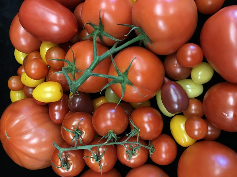 Variety Tomatoes