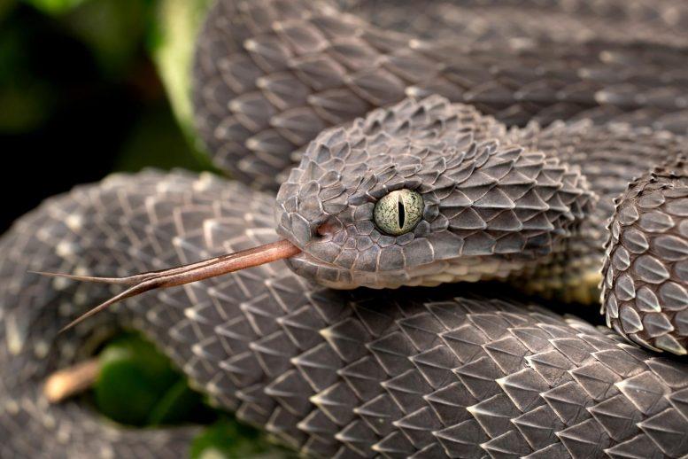 Venomous Bush Viper Snake Forked Tongue