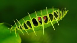 Venus Flytrap Dionaea muscipula with Trapped Fly