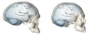 View the Evolution of Modern Human Brain Shape