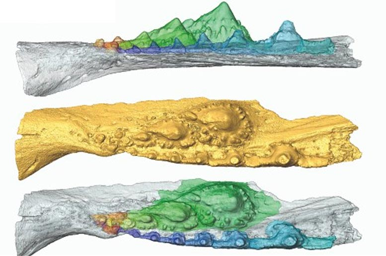 Virtual Model of the Ischnacanthid Acanthodian Jaw