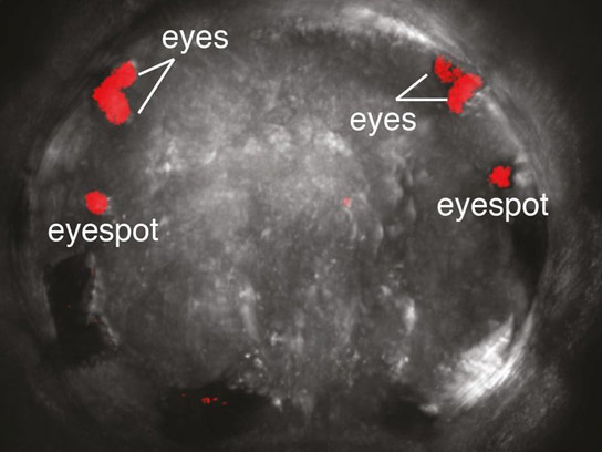 Visual System of Marine Annelids Gives Insight Into the Evolution of Eyes