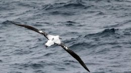 Wandering Albatross Equipped With Logger