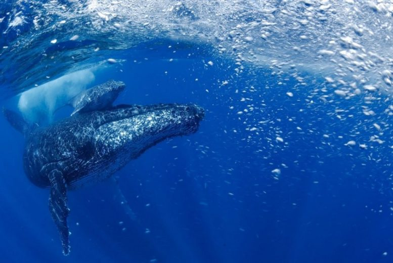 Western South Atlantic Humpback Mother and Her Calf