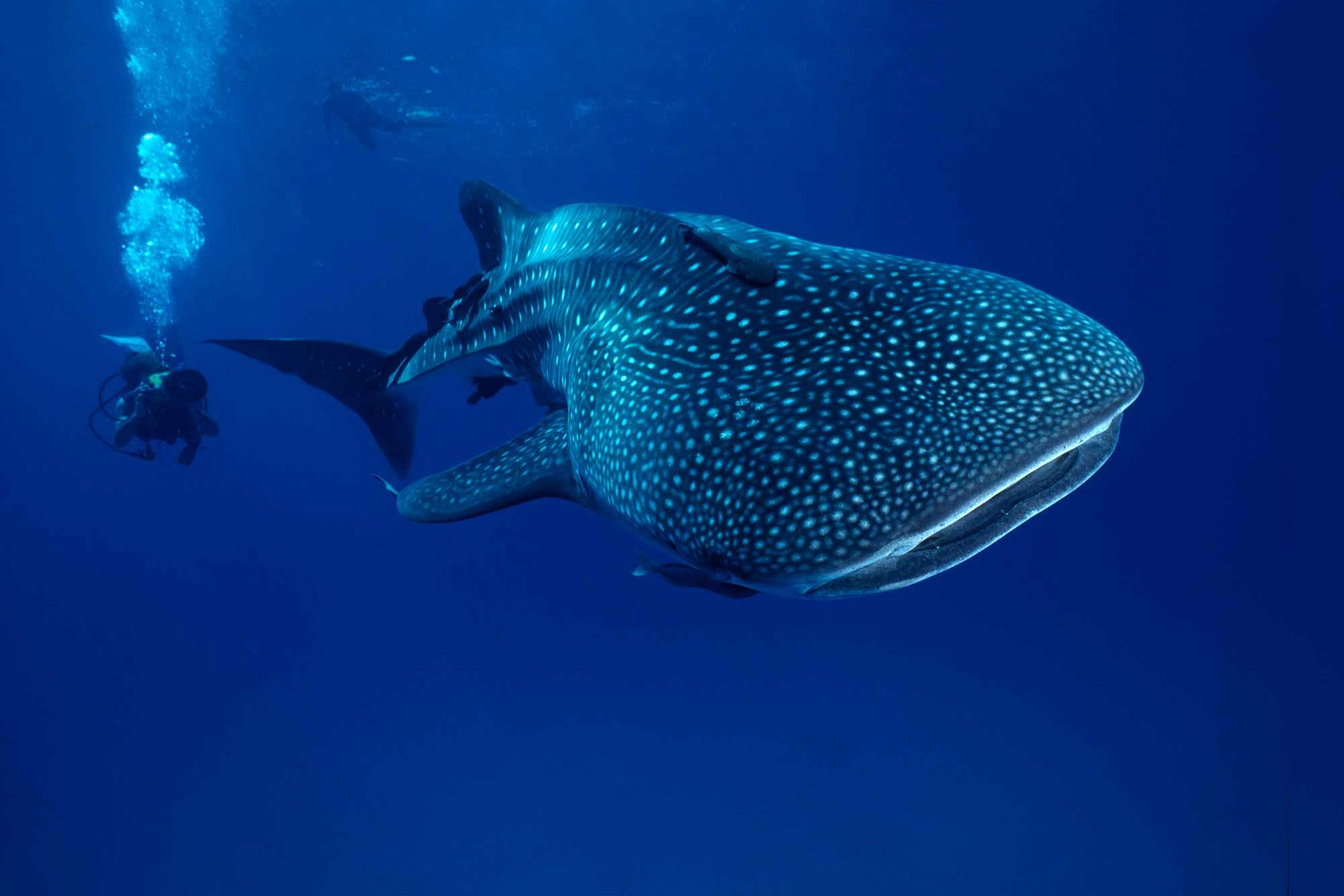 Whale Shark Girls Overtake the Boys to Become World's Largest Fish - SciTechDaily