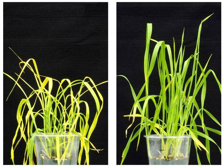 Wheat Treated with Opabactin