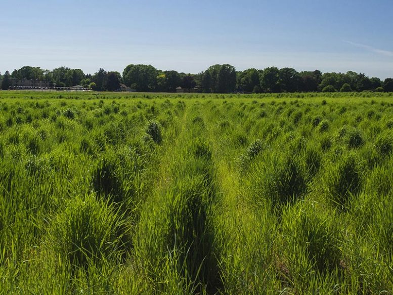 Wheatgrass Plant Breeding Nursery