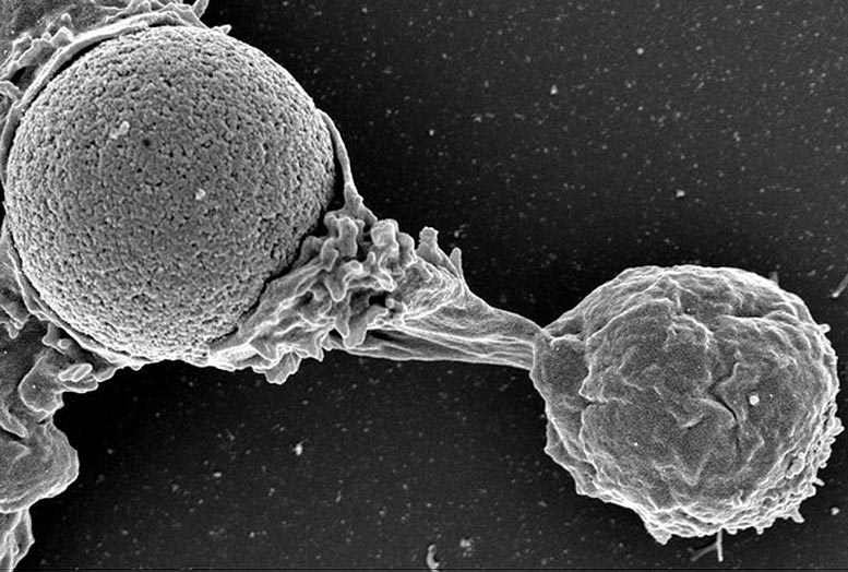 White Blood Cell Protrusion
