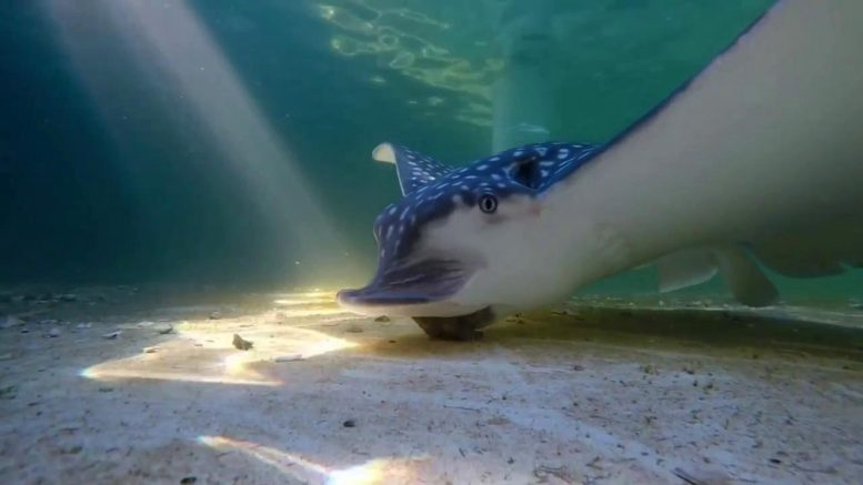 Whitespotted Eagle Ray