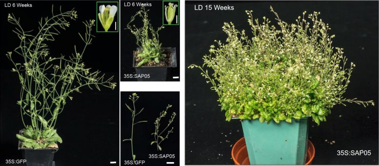 Witches' Broom in Arabidopsis