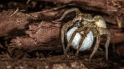 Wolf Spider Egg Sac
