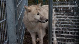Wolf Waiting in Test Apparatus