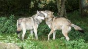 Wolves Mating Relatives