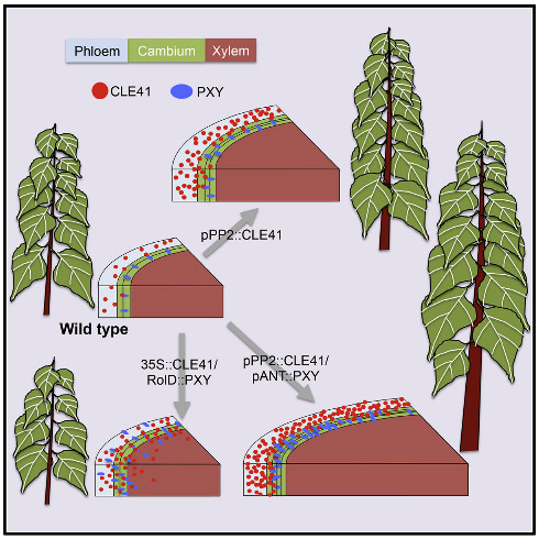 Wood Formation in Trees Is Increased by Manipulating PXY-Regulated Cell Division