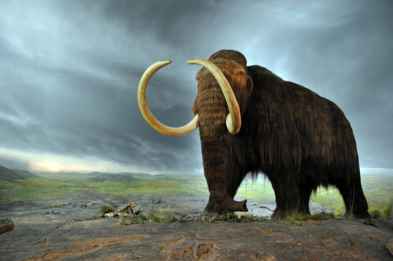 Woolly Mammoth Mammuthus primigenius