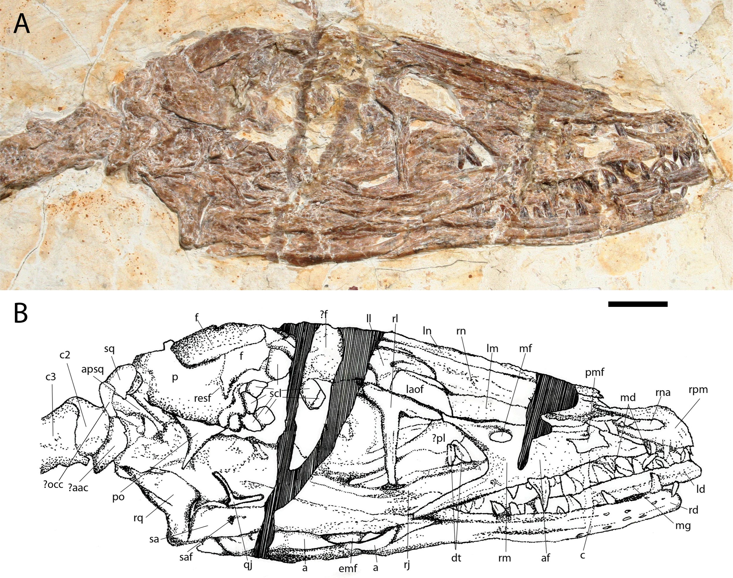'Dancing dragon' shows feathers grew differently on dinosaurs and birds