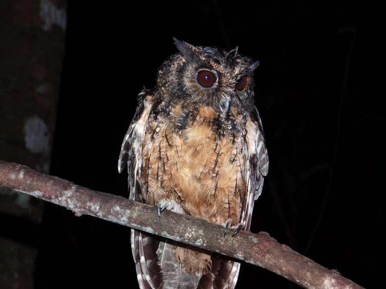 Xingu Scream Owl