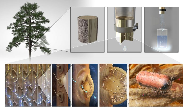 Xylem Tissue Water Filtration