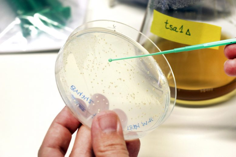 Yeast Cultures Studying Aging