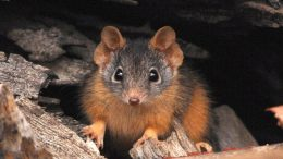 Yellow Footed Antechinus