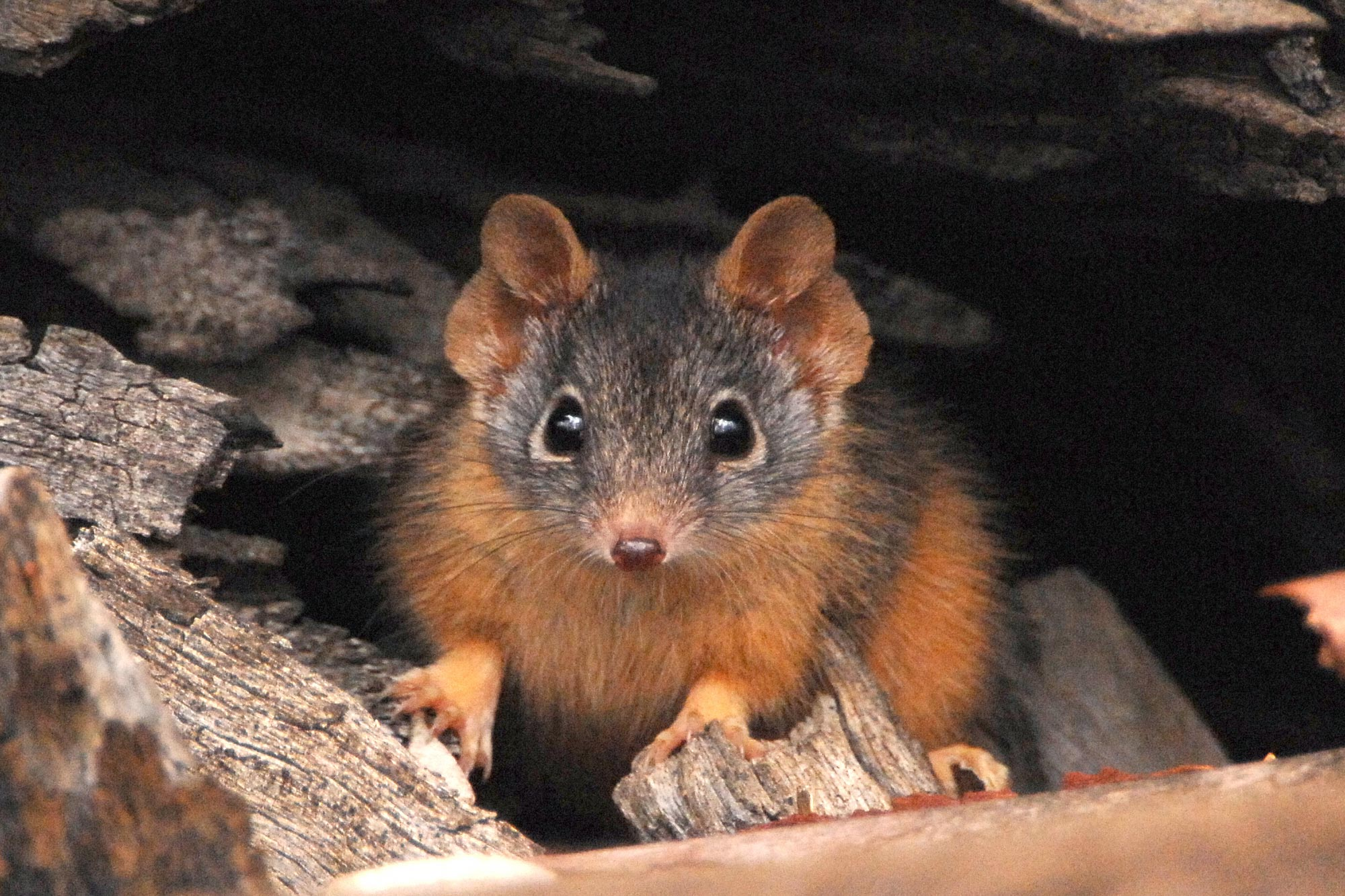 Warming Climate May Threaten Small Marsupials in Australia - SciTechDaily