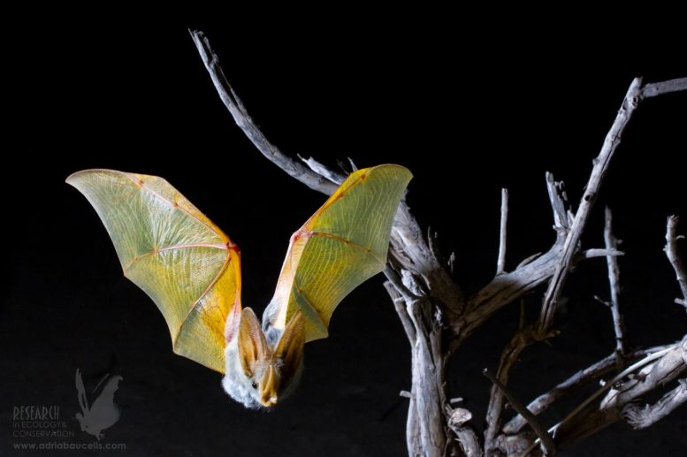 Yellow Winged Bat