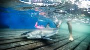 Young Great White Sharks