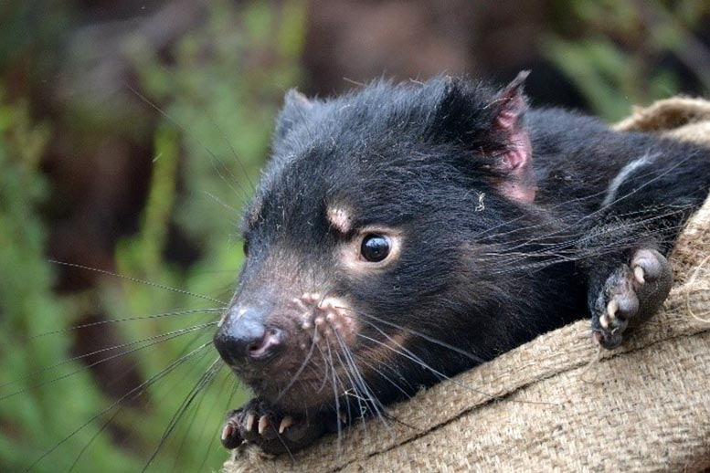 How an Infectious Tumor in Endangered Tasmanian Devils Evolved As It Spread - SciTechDaily
