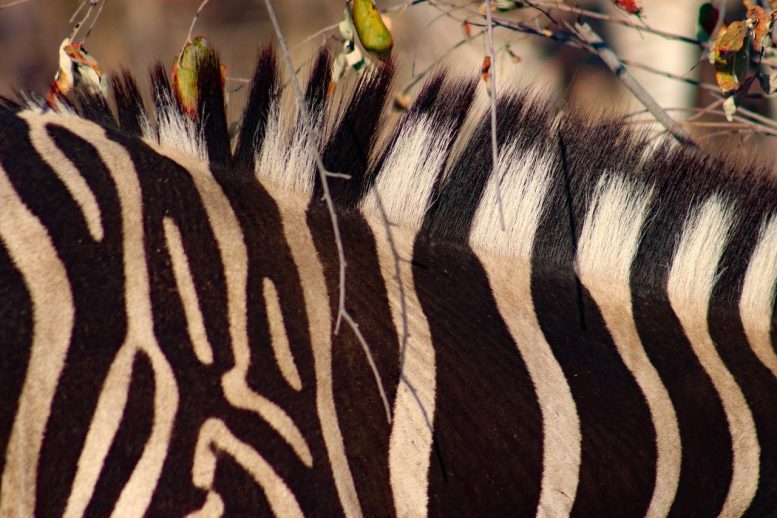 Zebra Stripes Close Up