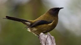 anthornis melanura bellbird new zealand