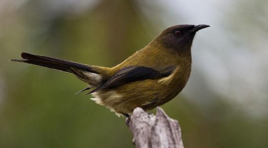 anthornis melanura bellbird new zealand