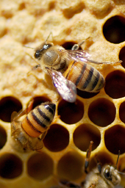 antibiotics might be another suspect in honey bee die-off