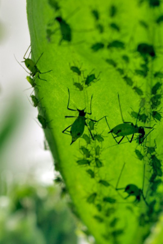 aphids-green-leaf