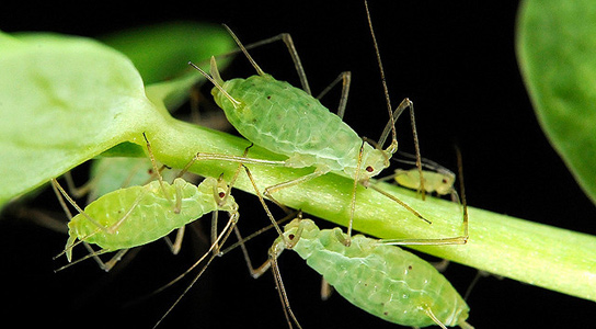 aphids-photosynthesis