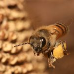 apis-mellifera-flying