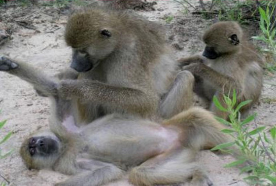 baboons-grooming