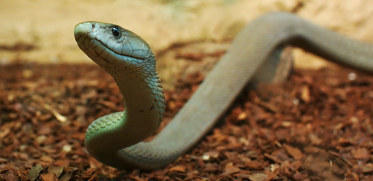 black-mamba-slither