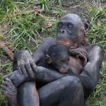 bonobo-hug-infant