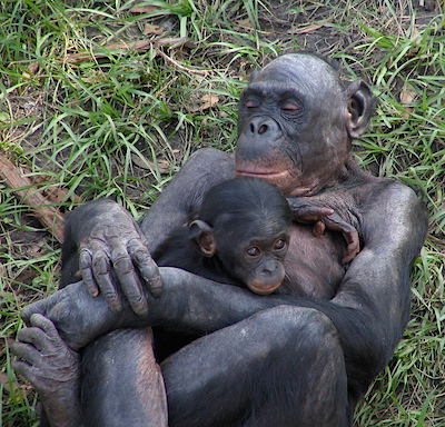 Bonobo Great Apes are Domesticating Themselves