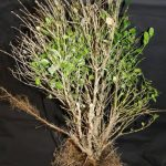 boxwood-affected-blight-fungus