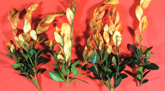 boxwood-blight
