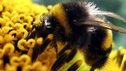 bumblebee-close-up-flower