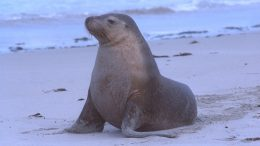 california-sea-lion