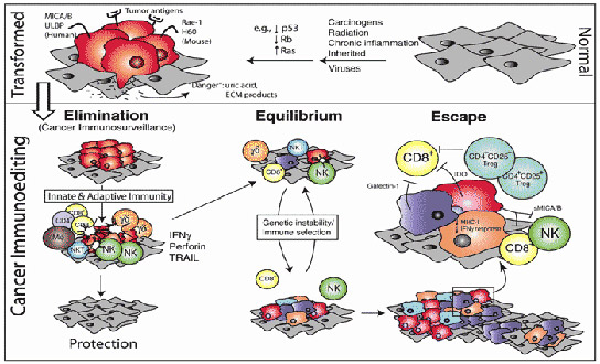 cancer and the immune system essay How does the immune system protect the body from disease  their immune  system and cancer article explores how some treatments.