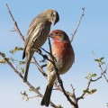 A house finch pair. Credit: Robert Shantz
