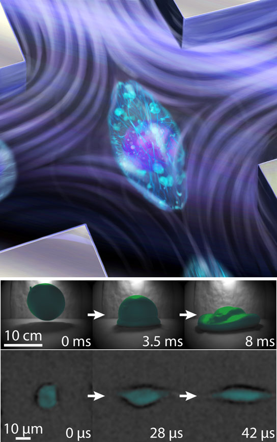 cell being squeezed in a high-speed fluid flow