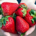 certain berries may delay memory decline in older women