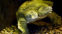 chinese-soft-shelled-turtle